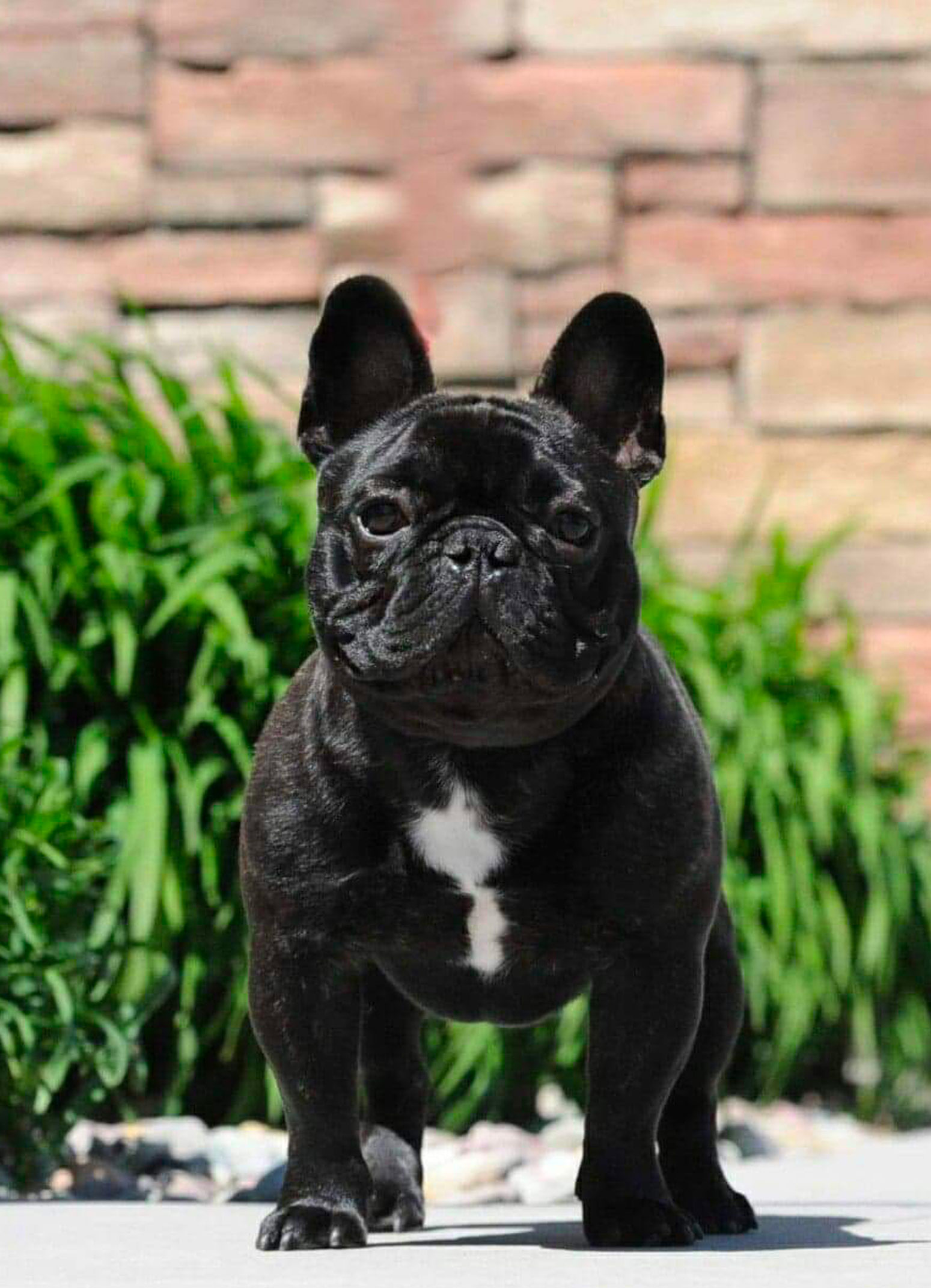 french bull dog, frenchie, dogs for sale